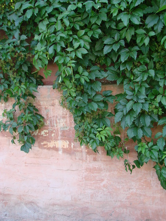 wall of ivy leaves natural green background Stockfoto