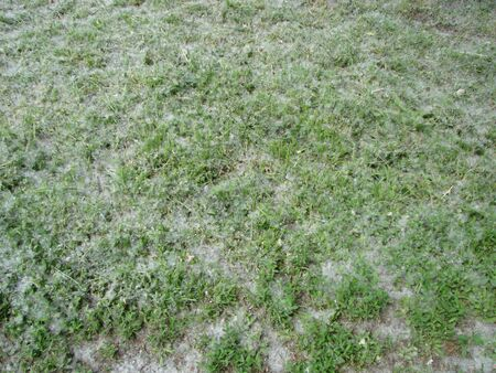 green grass and poplar fluff
