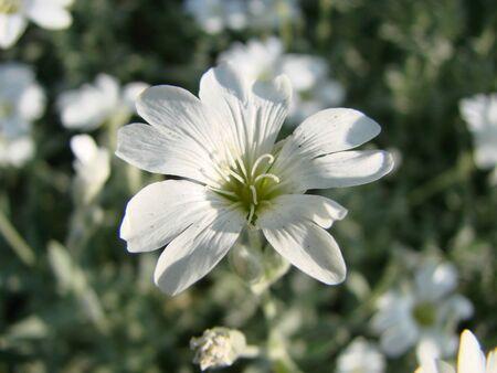 Snow-in-Summer, Cerastium tomentosum in bloom, white flowers background. Pretty small white flowers.