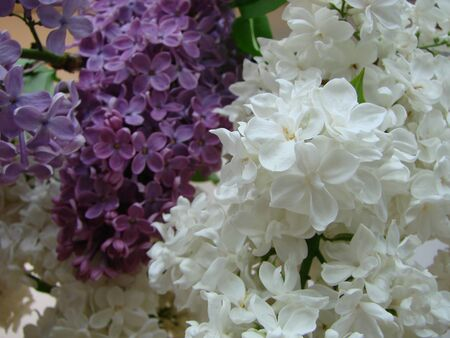 Lilac blossom in spring scene. Spring blooming lilac flowers. Lilac flowers Stockfoto
