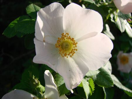 Beautiful fresh flowers of dog rose in the spring on the background of fir branches 写真素材