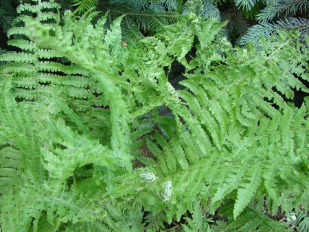 Beautyful ferns leaves green foliage natural floral fern background. 写真素材