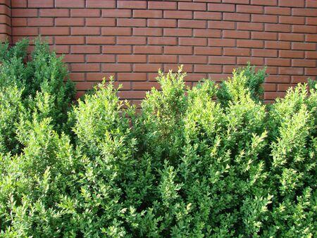 Juniper bush in the park. Green bush of juniper on a brick wall background.