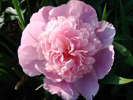 Close-up of flowers Pink peonies . Beautiful peony flower for catalog or online store. Floral shop concept . Beautiful fresh cut bouquet. Flowers delivery 写真素材
