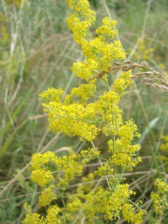 Yellow Bedstraw. Latin name Galium. Close up. Spring solar background 写真素材