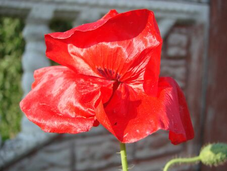 Red poppy flowers against the sky. Shallow depth of field 写真素材
