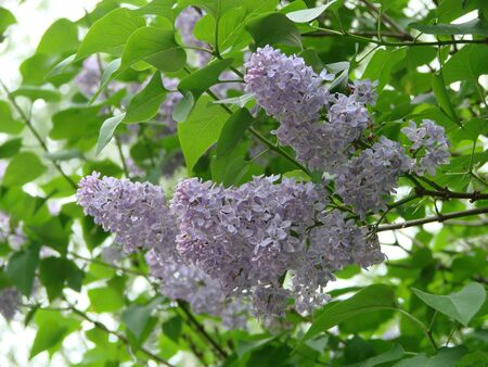 Lilac blossom in spring scene. Spring blooming lilac flowers. Lilac flowers 写真素材