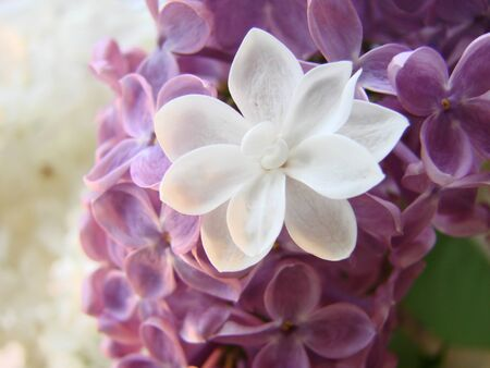 Concept of leader,or differentiation. Purple lilac flowers as a background, Syringa vulgaris Archivio Fotografico