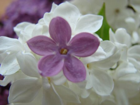 Concept of leader,or differentiation. Purple lilac flowers as a background, Syringa vulgaris Stock Photo