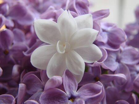 Concept of leader,or differentiation.Purple lilac flowers as a background