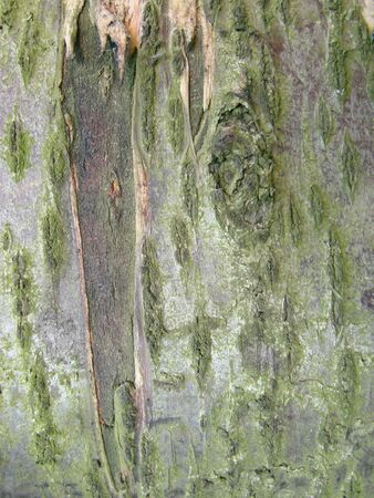 Real tree old wooden texture. Wood background with green moss and mold. Natural forest rustic photo. Vertical ecological pine bark.