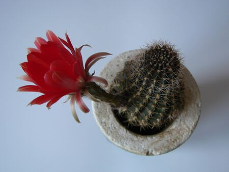 cactus with large red flowers isolated on white background