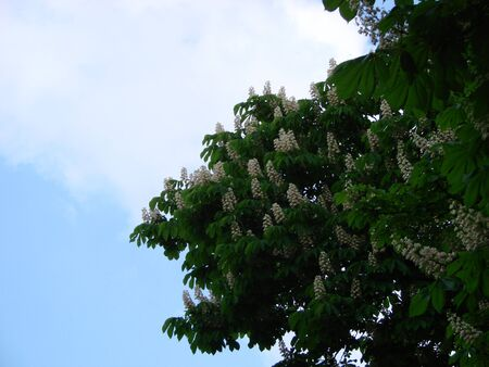 Flowering chestnut horse. White bunches of chestnut flowers on blue sky background, Ukraine