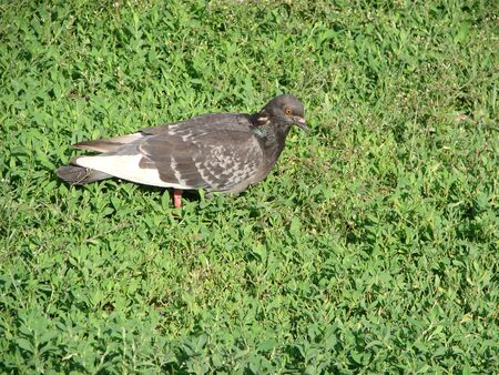 Stock Dove Columba oenas foraging in the grass of a bright green lawn Banque d'images