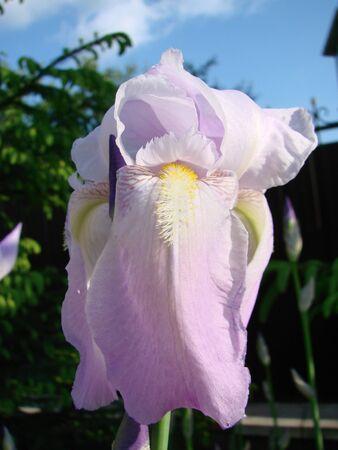 Beautiful flower of Iris germanica. Summer garden.