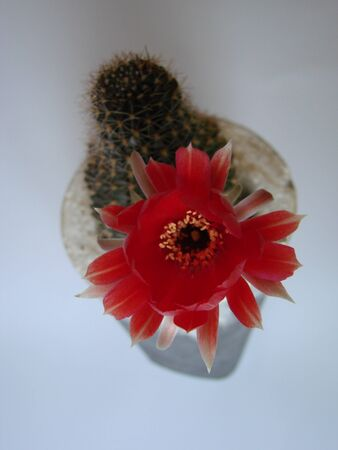 cactus with large red flowers isolated on white background Stock Photo