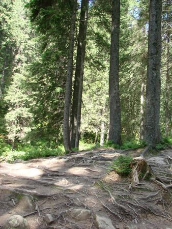 The forest road is covered with roots of trees, Carpathian mountains, Ukraine 版權商用圖片