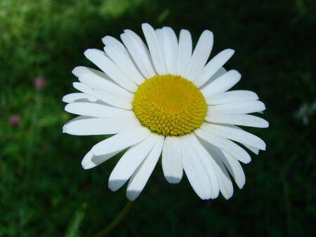 Camomile flower on blurred background. Summertime. Macro photo