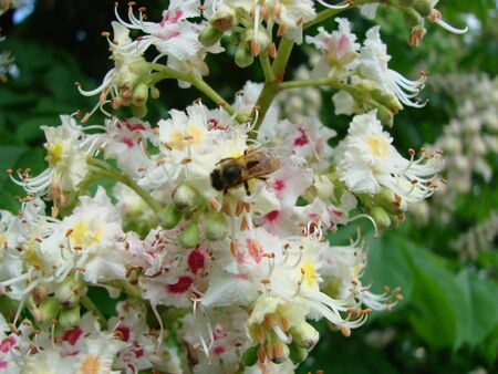 Bee on chestnut flowers. bee pollinates the flowers.