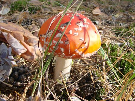 Toxic and hallucinogen mushroom Fly Agaric in grass on autumn forest background. Red poisonous Amanita Muscaria fungus macro close up
