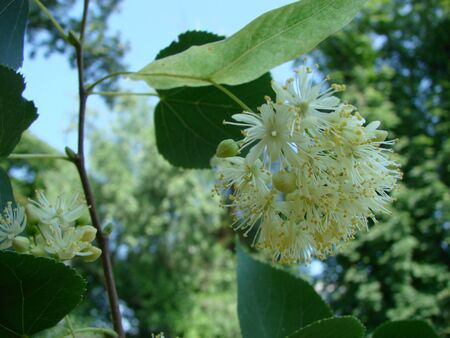 Flowers of blossoming tree linden wood, used for pharmacy, apothecary, natural medicine and healing herbal tea. Linden or lime tree in bloom as background of spring nature Foto de archivo