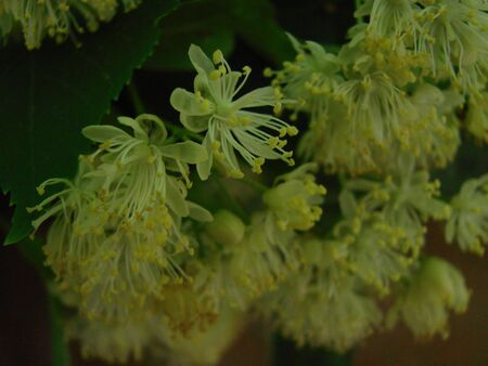Flowers of blossoming tree linden wood, used for pharmacy, apothecary, natural medicine and healing herbal tea. Linden or lime tree in bloom as background of spring nature