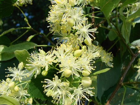 Flowers of blossoming tree linden wood, used for pharmacy, apothecary, natural medicine and healing herbal tea. Linden or lime tree in bloom as background of spring nature Imagens