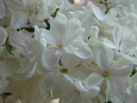 lilac white. A branch of blooming white lilac macro. Spring flowers