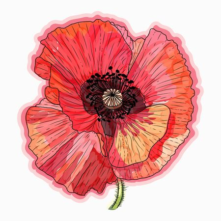 Ink, pencil, watercolor poppy flower sketch. Line art background. Hand drawn nature painting. Freehand sketching illustration.