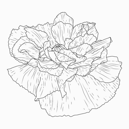 Hand drawn California poppy flowers and sketch with line art on a white background.