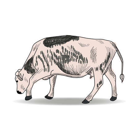 Cow, Hand drawn in a graphic style. Vintage engraving illustration for poster, web. Isolated Ilustração