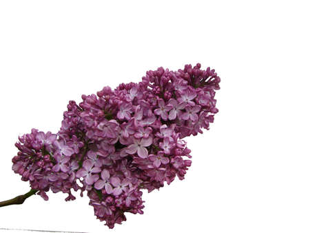 Beautiful lilac flowers isolated on white background, closeup.