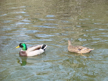 Male and female mallard duck swimming on a pond with green water while looking for food Фото со стока