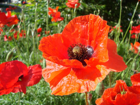 Red Poppy Flowers with a Bee and Wheat Fields on the Background. Common Poppy Papaver rhoeas and flying Large Earth Bumblebee