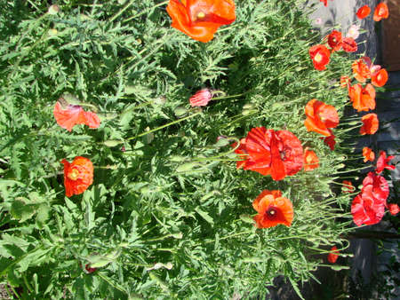 Flowers Red poppies blossom on wild field. soft light. Natural drugs. Glade of red poppies. Lonely poppy. Фото со стока