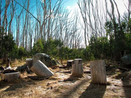 Scattered tree stumps on the forest floor on the way to the Lake Mountain summit in Victoria, Australia. The mountain is popular destination for camping during winter
