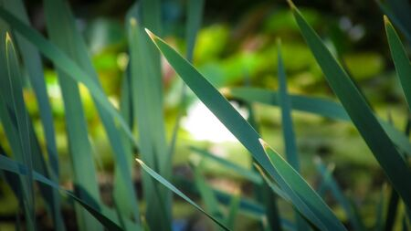 Close up view of long grass blades at the edge of a pond inside Point Smythe nature trail. The nature trail is part of Cape Liptrap Coastal Park in Venus Bay, VIC, Australia