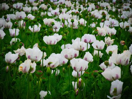 Poppies have cultural significance around the world as a food source. It symboizes sleep, peace and death because of the plant sedative properties. Tasmania produces 50 percents of the world supply