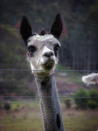 Close up shot of an alpaca with shorn fur in a Tasmanian farm