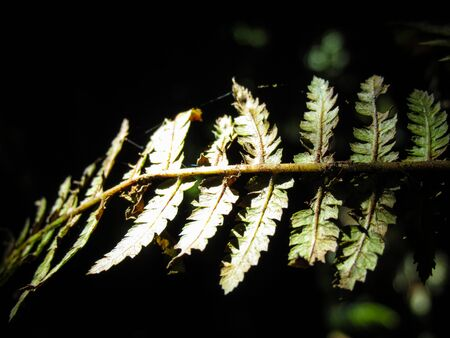 Fern on black background. The plant has cultural significance in some European folklore. It is believed to bloom once a year. Anyone who finds a fern flower is thought to be happy and rich ever after Foto de archivo
