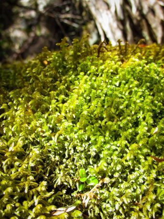 Mossy plant along the footpath of Cradle Mountain, Tasmania