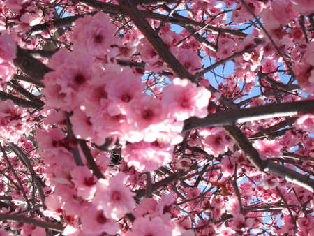 Australian Cherry Blossoms. They only bloom once a year usually in September. Although less popular than Japan's hanami, there some great places to view these flowers in full bloom in Australia.