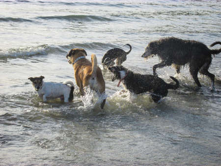 A group of dogs play in relatively calm sea water and creating water splash. The sunset creates backlight and soft shadow on the dogs. Suitable to illustrate happiness in life without featuring human.