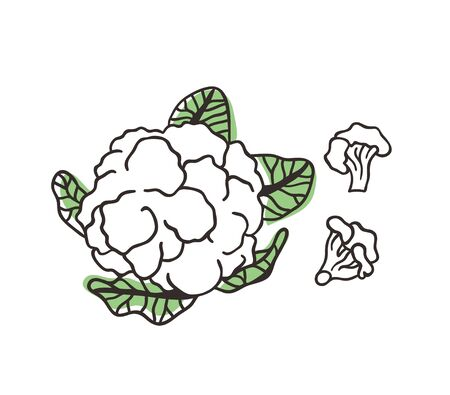 Doodle cabbage cauliflower. Hand drawn stylish fruit and vegetable. Vector artistic drawing fresh organic food. Summer illustration vegan ingrediens for smoothies