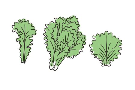 Doodle lettuce. Hand drawn stylish fruit and vegetable. Vector artistic drawing fresh organic food. Summer illustration vegan ingrediens for smoothies Stock fotó - 147796759