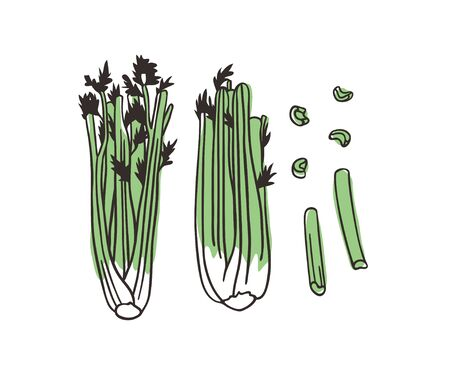 Doodle celery. Hand drawn stylish fruit and vegetable. Vector artistic drawing fresh organic food. Summer illustration vegan ingrediens for smoothies 向量圖像