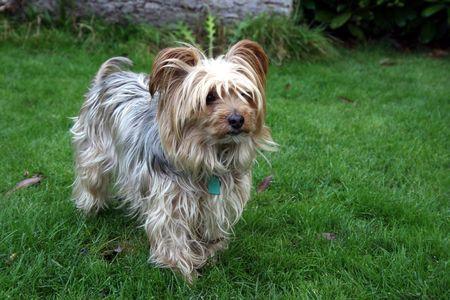 silky hair: Yorkshire Terrier with silky hair Stock Photo
