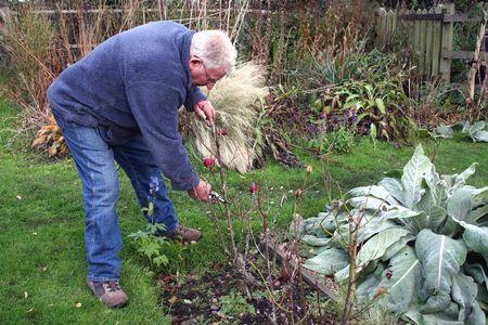 Man bending to prune roses