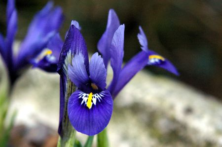 Iris reticulata 'Harmony' Stock Photo - 3796578