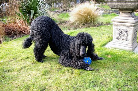 standard poodle: Standard Poodle playing in the garden